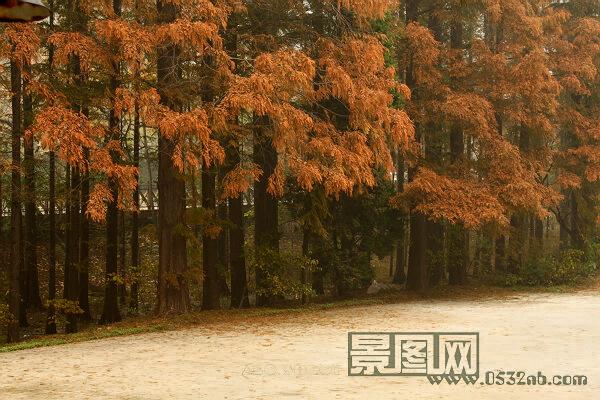秋天红杉树